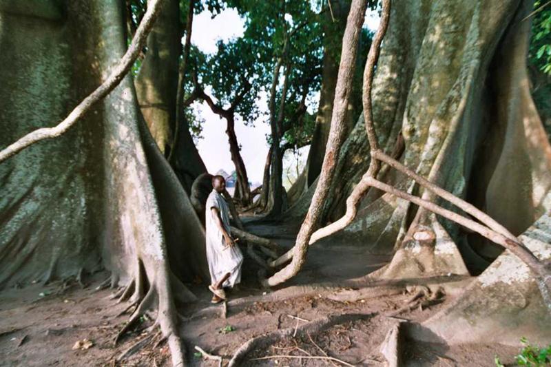 Foto Riesenbaumwurzeln im heiligen Wald von Baro